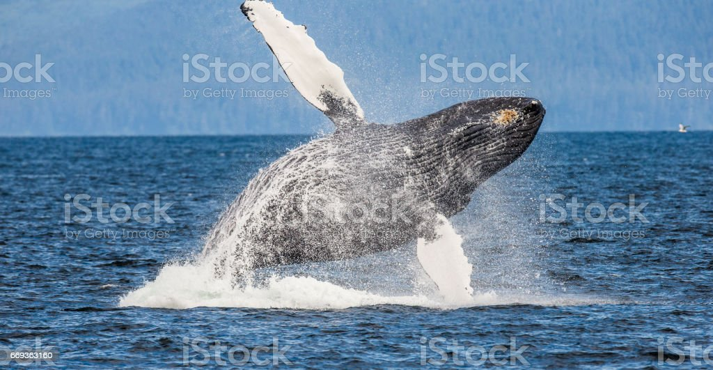 Jumping humpback whale. - foto de stock