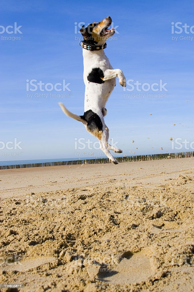 Jumping Jack Russell stock photo