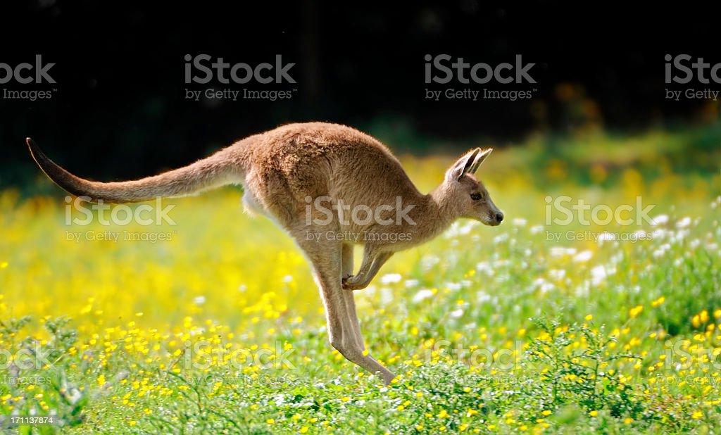 jumping kangaroo stock photo