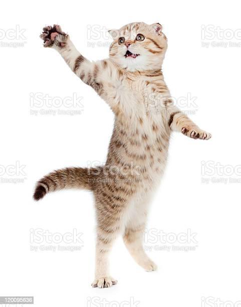 Jumping kitten or cat striped scottish fold isolated studio sho picture id120095636?b=1&k=6&m=120095636&s=612x612&h=dwaa bur4vb3ggkvk4xtjaf4h14lktlviktcs0lyydq=