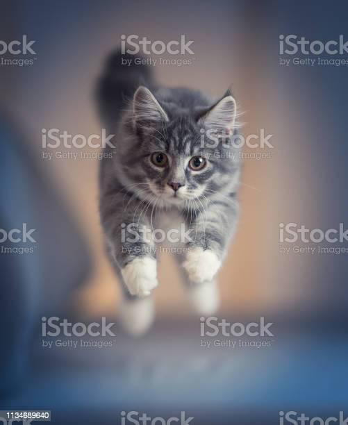 Jumping kitten picture id1134689640?b=1&k=6&m=1134689640&s=612x612&h= u22pujkz19wgqwrgmwybz hkj4wskjawus9hfwzy0g=