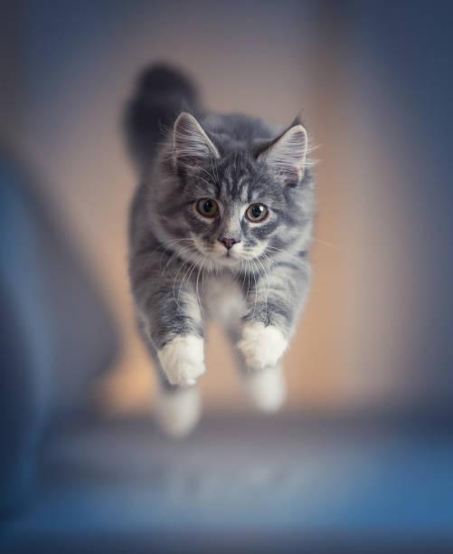 Jumping kitten picture id1134689640?b=1&k=6&m=1134689640&s=612x612&w=0&h=lrbgyw arye0hocnaivakwxpcxgbismdovvmw8pympu=