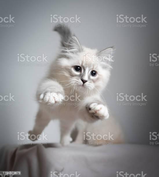 Jumping kitten picture id1194323873?b=1&k=6&m=1194323873&s=612x612&h=7pfdcpxo6vlg 62azxpl0hdbxj23u7y0kv8p3x0qpm0=