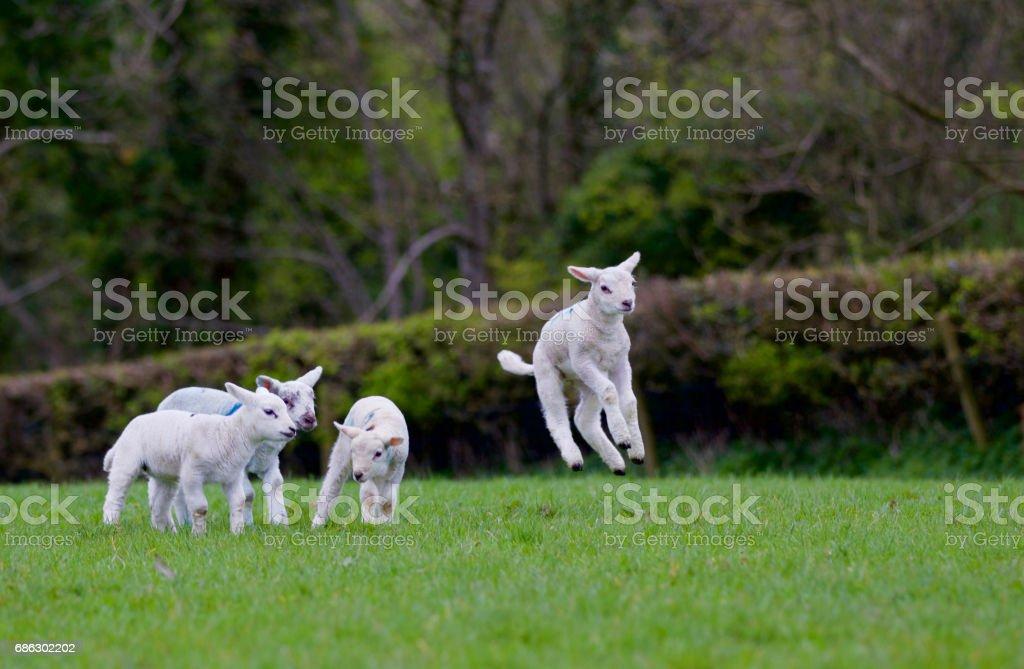 Saut à agneaux - Photo