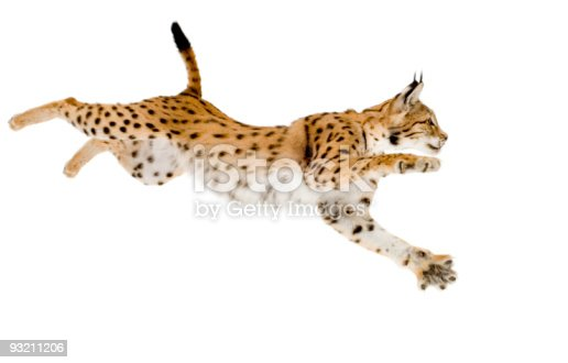 Lynx in front of a white background.