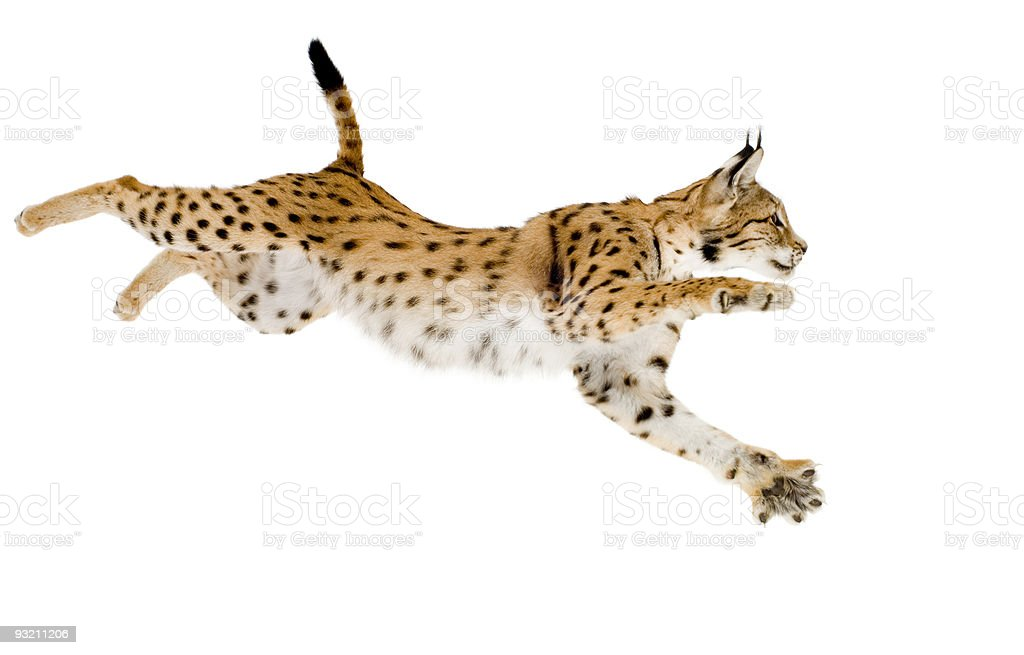 Jumping lynx on white background stock photo