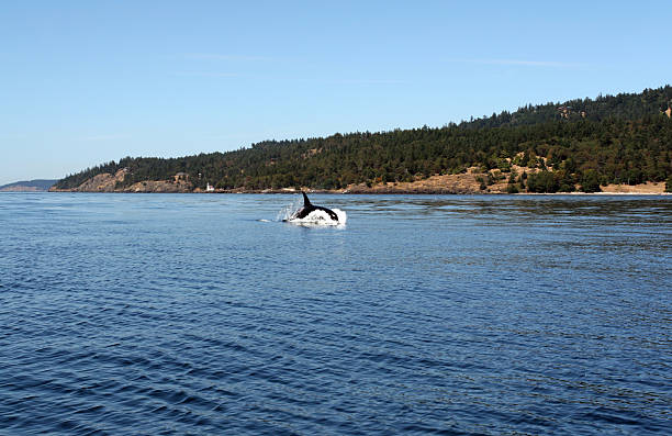 Jumping Orca Whale in the wild stock photo
