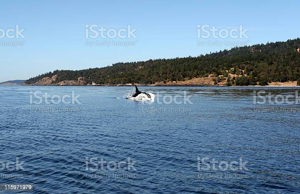 Jumping Orca Whale In The Wild Stock Photo - Download Image Now
