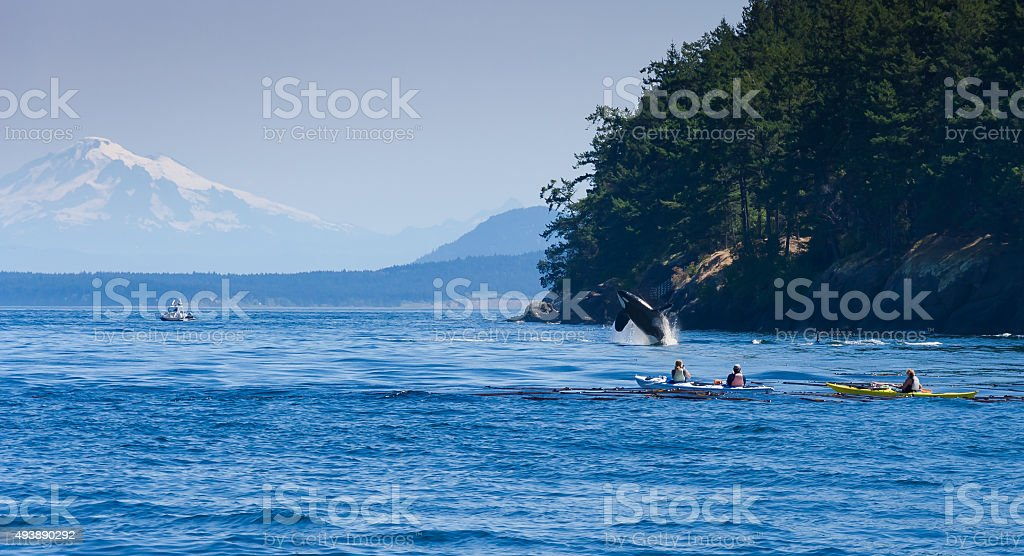 Jumping orca whale near canoeist stock photo