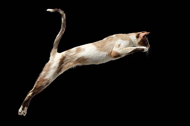 Jumping oriental cat isolated on black picture id509295110?b=1&k=6&m=509295110&s=612x612&w=0&h= bcxlqo1qu8djs qsghdvcr9lcpmaj7m6tiyf2zf0j0=
