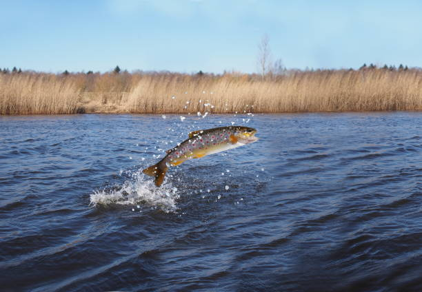 jumping out from water salmon - chinook salmon stock photos and pictures