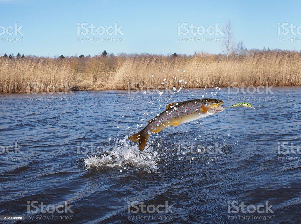 Salmone saltando fuori dall'acqua - foto stock