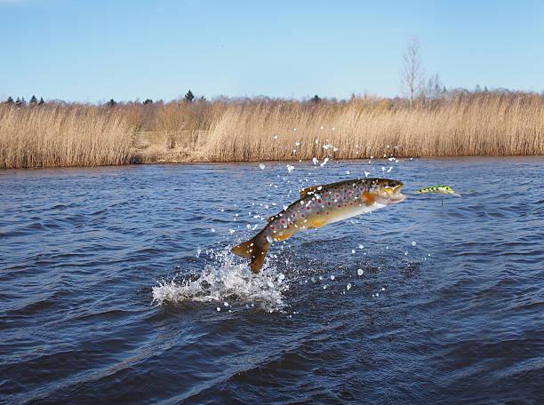 salmone saltando fuori dall'acqua - trout foto e immagini stock