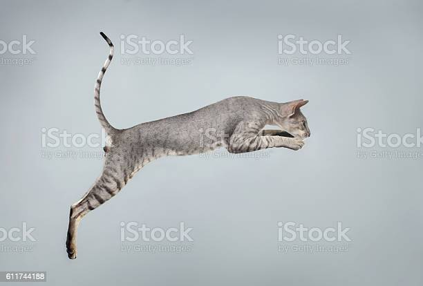 Jumping peterbald sphynx cat on white picture id611744188?b=1&k=6&m=611744188&s=612x612&h=2tzentqbs2ey08oh1wlgbplsto q3zpmmy0trh8ojso=