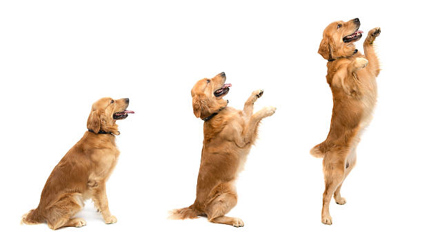 jumping - golden retriever stock photos and pictures