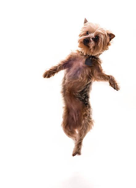 Jumping puppy picture id492628719?b=1&k=6&m=492628719&s=612x612&w=0&h=9hb1pingzzejihfmj3vromjkemaj9 3aj8v5vm8qr1q=
