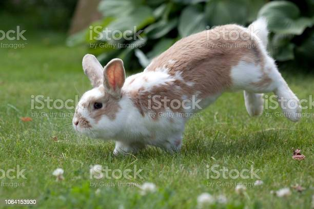 Jumping rabit and white clover picture id1064153930?b=1&k=6&m=1064153930&s=612x612&h=icjieul2thxt3fjyb1lr9ortu2htihvgqs ljngdt y=