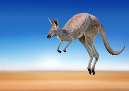 hewan herbivora kanguru