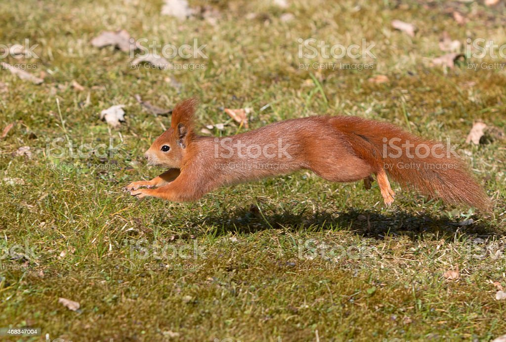 Jumping red squirrel royalty-free stock photo