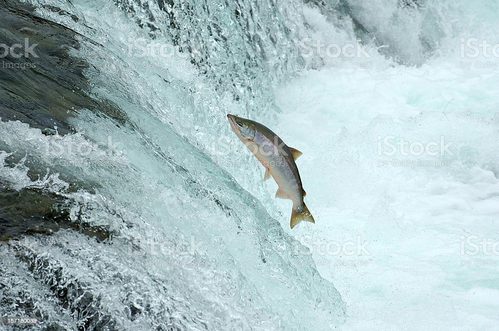 Jumping Salmon stock photo