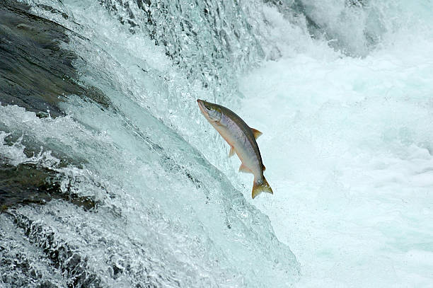 Jumping Salmon  salmonidae stock pictures, royalty-free photos & images