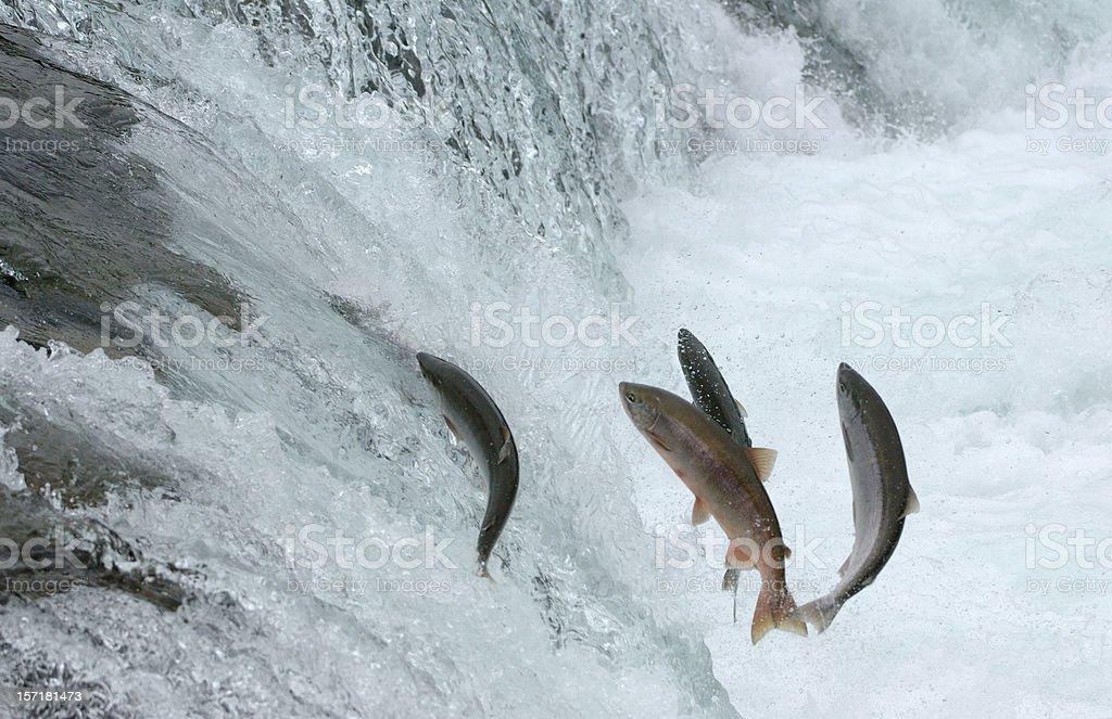 Jumping Salmon royalty-free stock photo