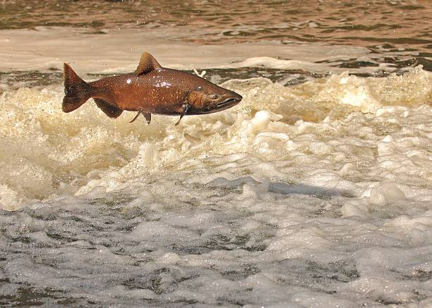 jumping salmon - chinook salmon stock photos and pictures