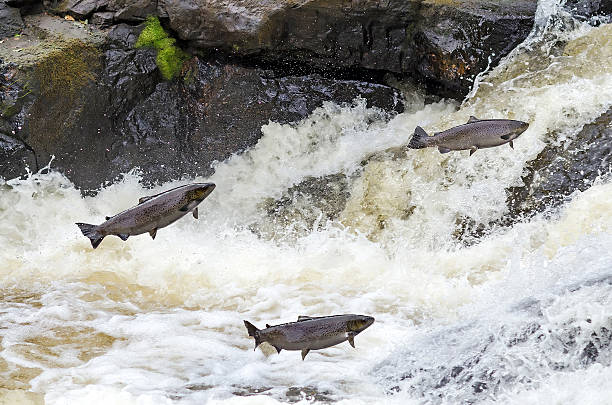 Jumping sea trouts Jumping sea trouts under spawning season salmon fishing stock pictures, royalty-free photos & images