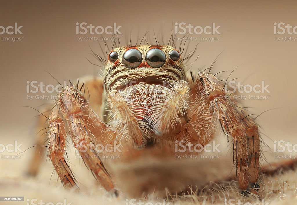 Jumping spider Carrhotus viduus sp: stock photo