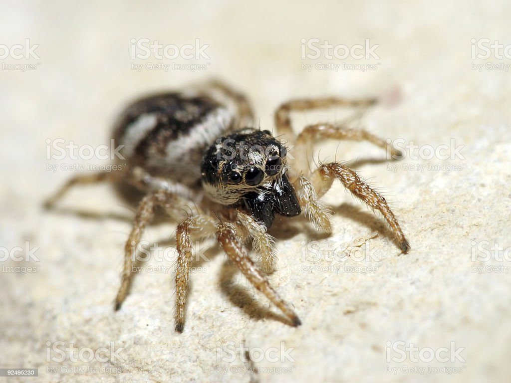 Jumping spider hunting royalty-free stock photo