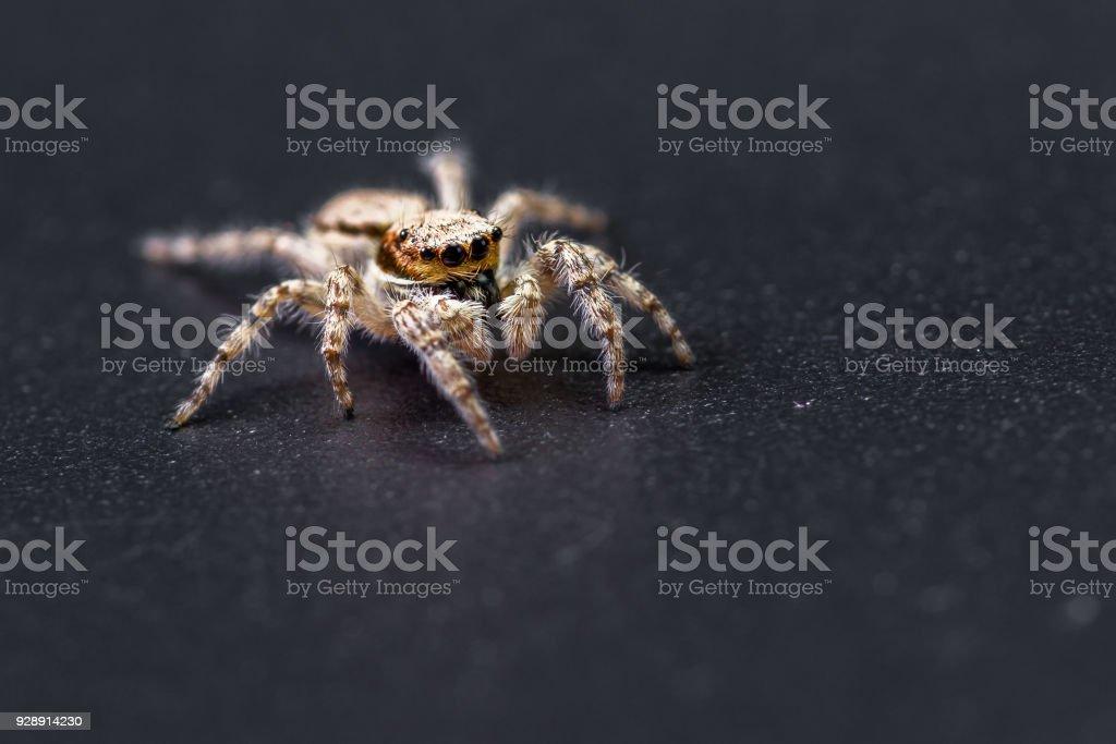 macro de aranha saltadora - foto de acervo