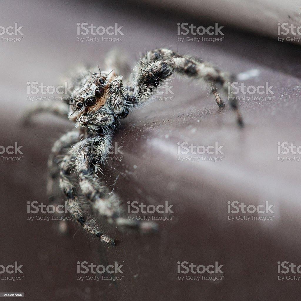 Jumping Spider Macro - Salticidae stock photo