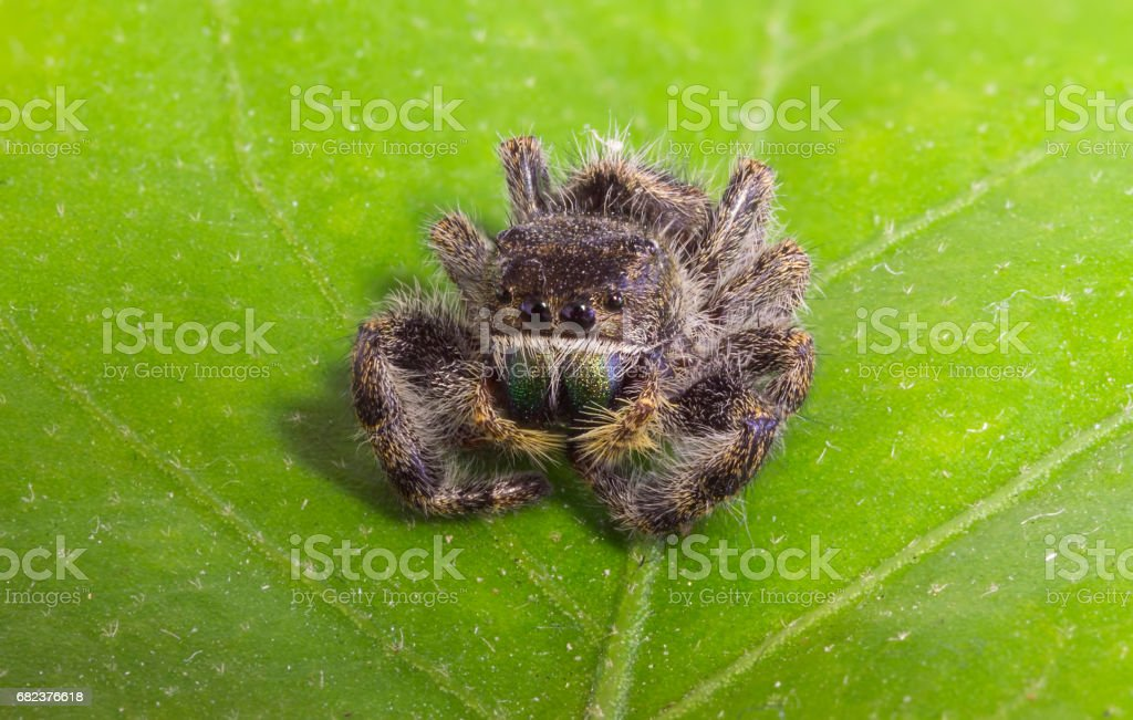jumping spider on a leef royalty-free stock photo