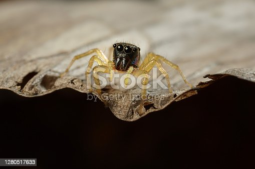 Extreme macro shot of Jumping spider on leave background. Jumping spider is very small but have big eyes. Selective focus and free space for text.