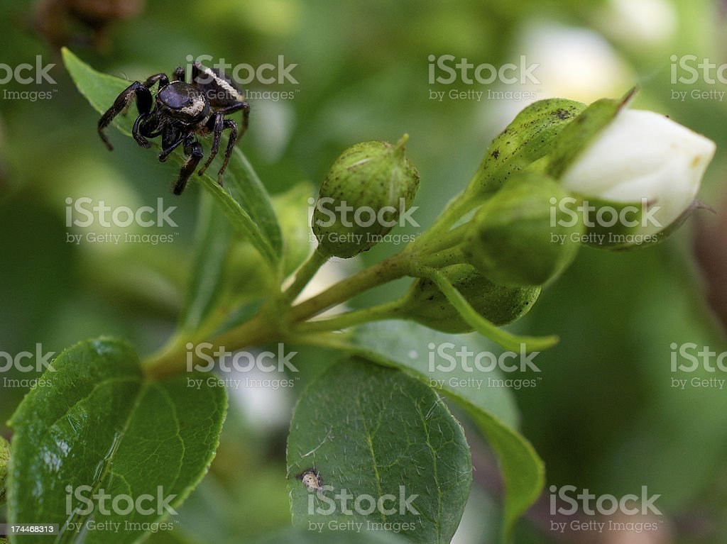 Jumping Spider on the Prowl royalty-free stock photo