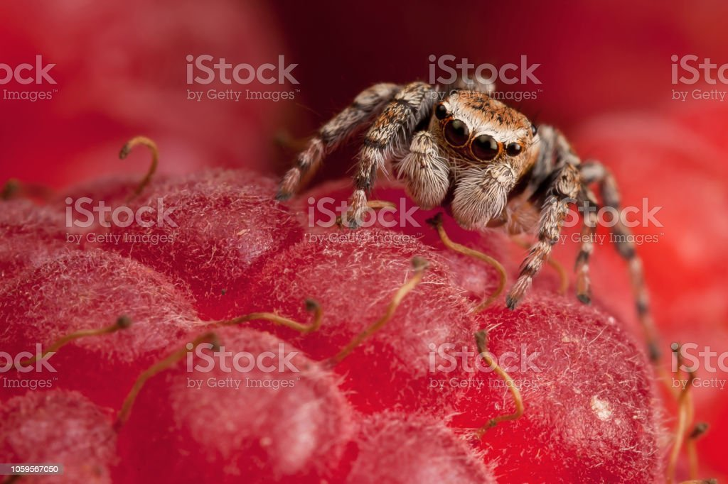 Jumping Spider On The Red Raspberry Stock Photo - Download
