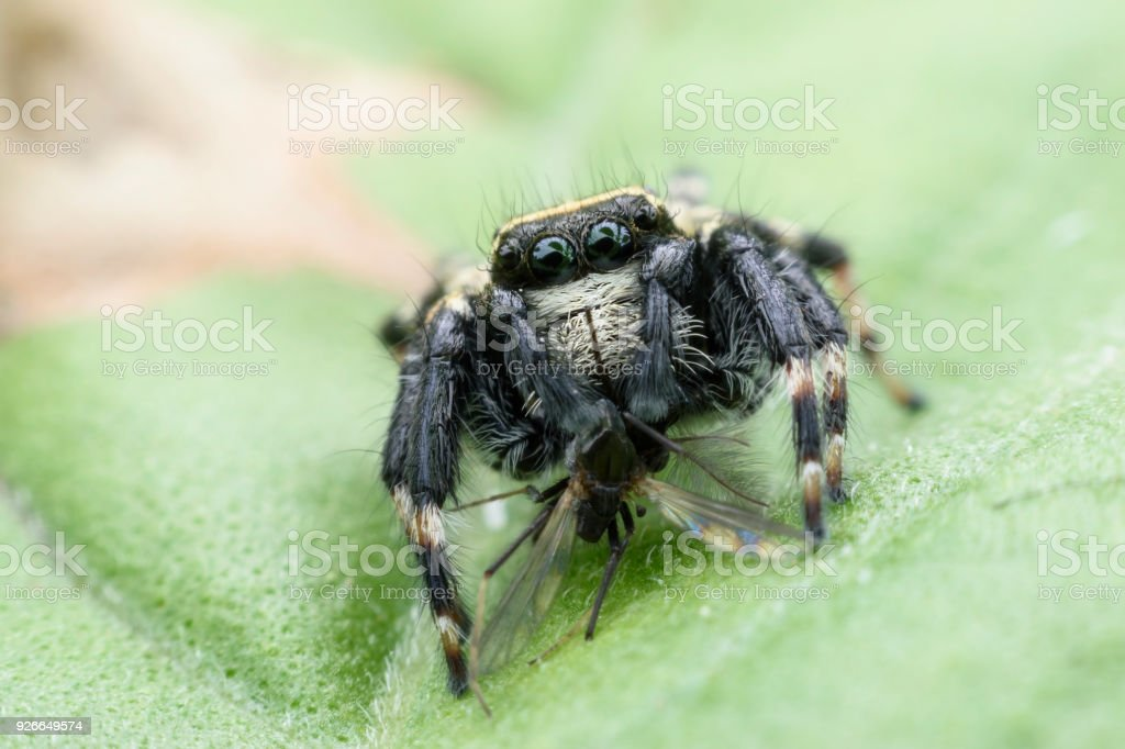 Saltando aranha ou Carrhotus sannio (macho) com presas na folha verde - foto de acervo