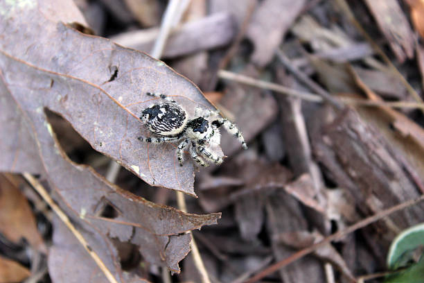 jumping spider perched on brown leaf - pam schodt stock photos and pictures