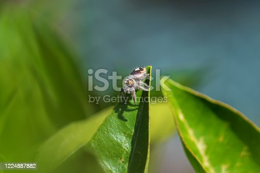 A jumping spider, phidippus californicus, in an orange tree located in the Sonoran Desert of Arizona during spring.  Image was focus-stacked from multiple images focused at different points on spider's body.