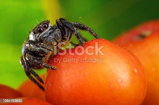 istock Jumping spider 1064153830