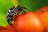 Extreme macro of rowan berry and nice jumping spider with yellow pollen on it