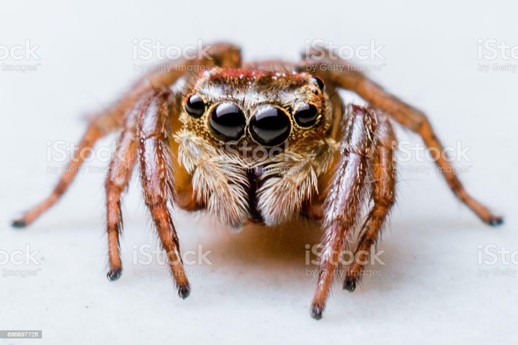 Aranha Saltadora  - foto de acervo