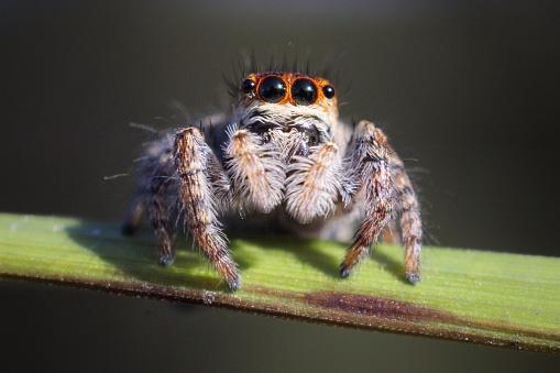 Jumping spider porteait