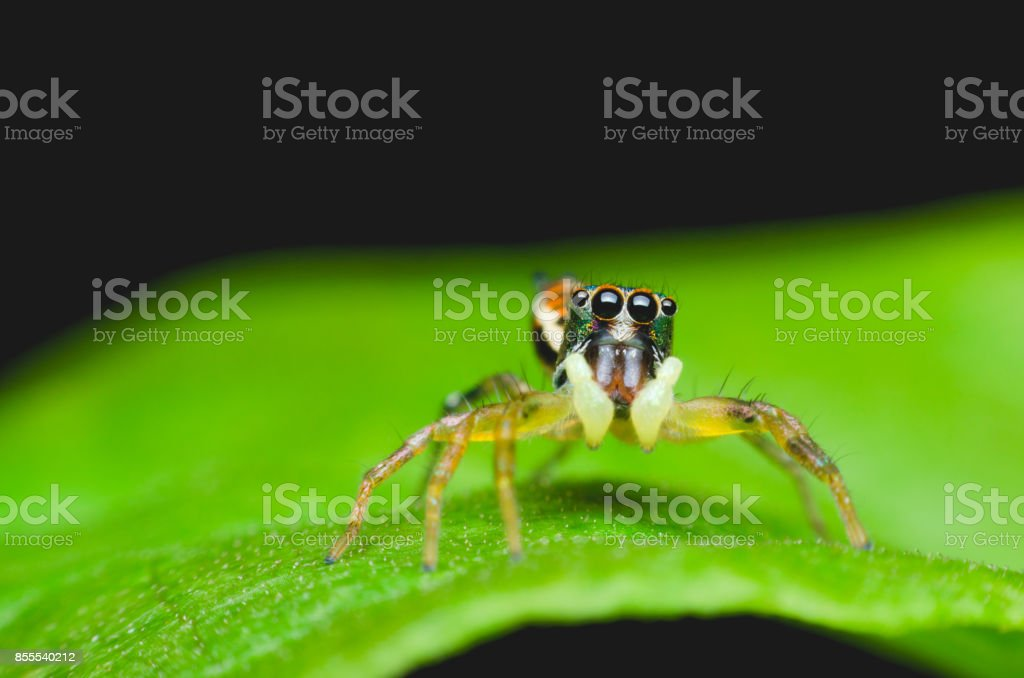 jumping spider which black white spotted on green leaves. macro animal life. stock photo