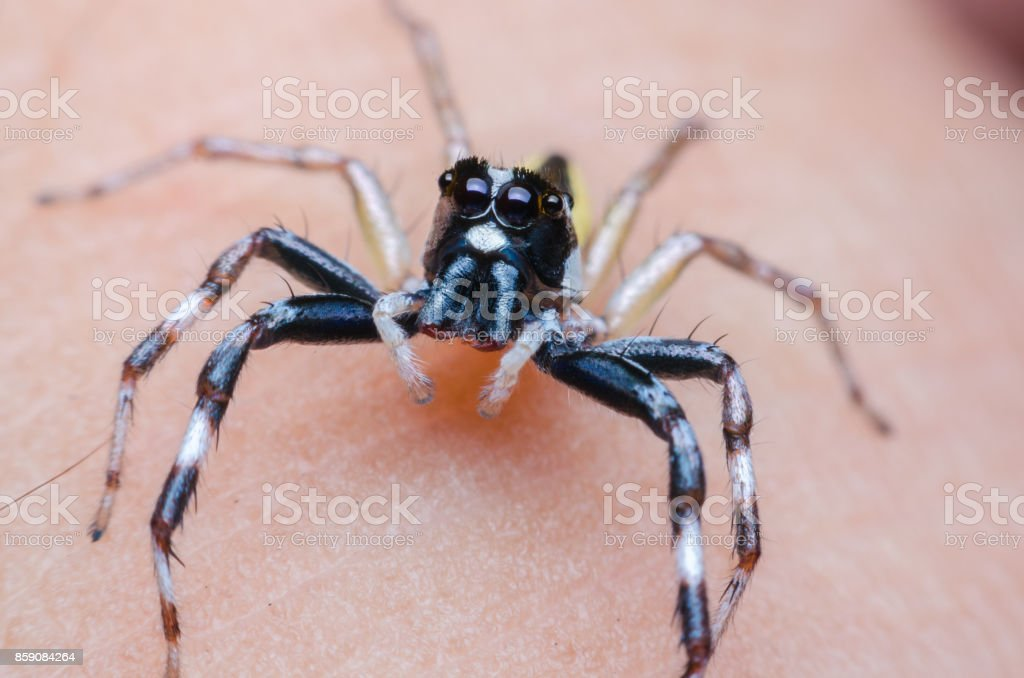 jumping spider which black white spotted on human skin. macro animal life. stock photo