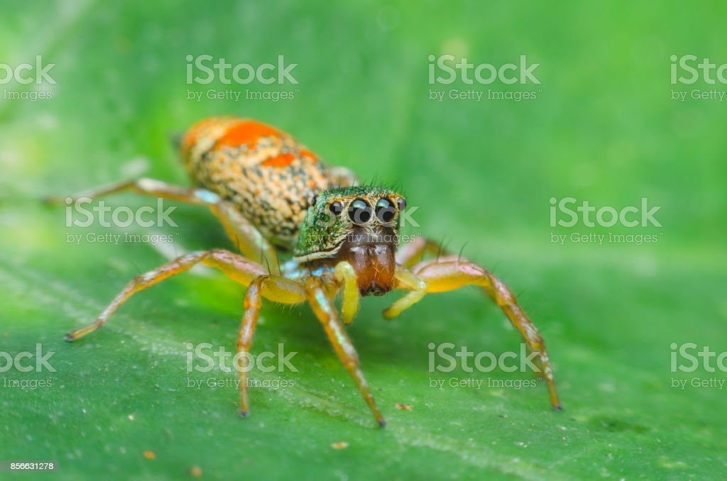 jumping spider which has green head and orange bottom spotted on green leaves. macro animal life. stock photo