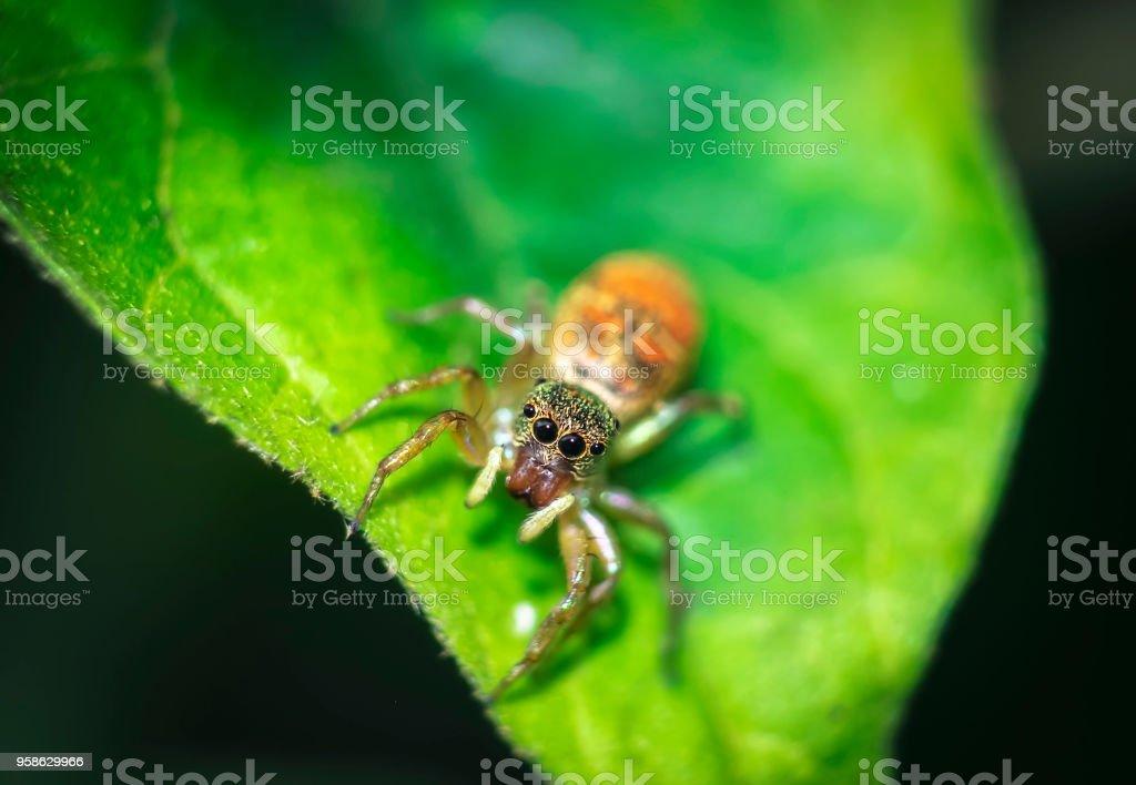 Salto laranja de aranhas, linda em folhas verdes. - foto de acervo
