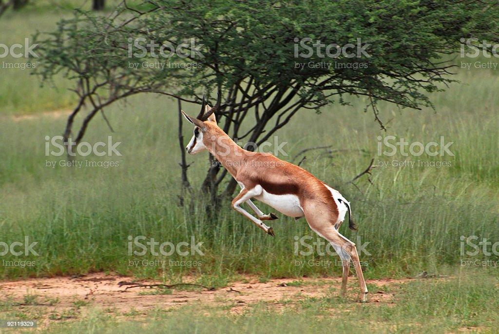 Jumping Springbok stock photo