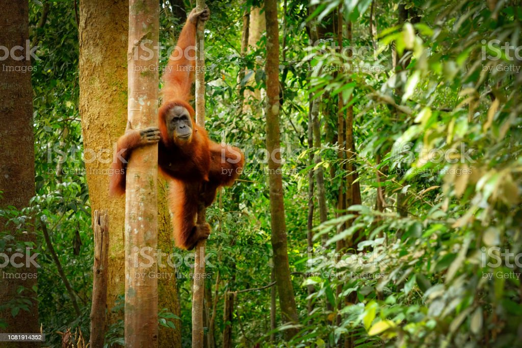 Jumping wild orangutan Orangutan spotted in the rainforest jumping from tree to tree Animal Stock Photo