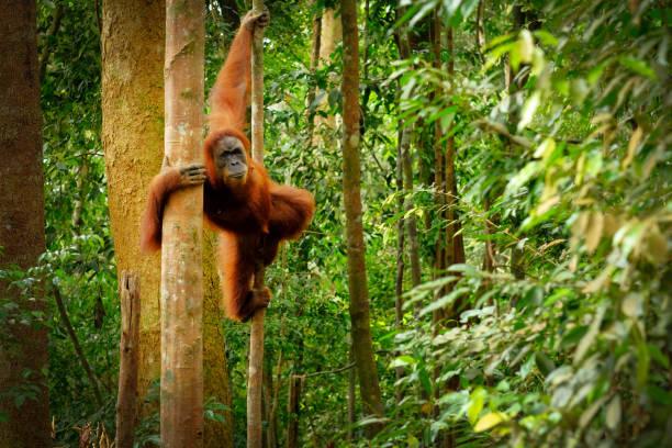 pulando o orangotango selvagem - malásia - fotografias e filmes do acervo